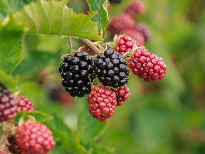 berry-3513546