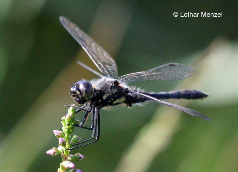 Schwarze Heidelibelle Paarungsrad